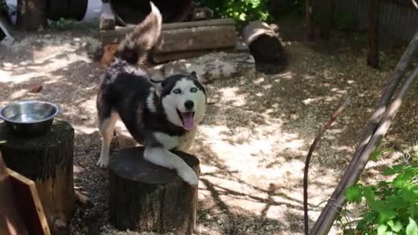 Funny dog Husky on chain