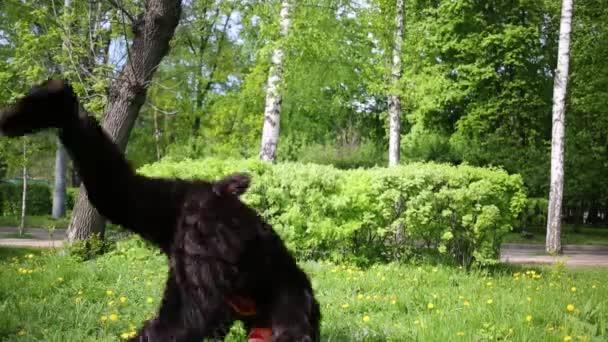 Actor dressed as bear dancing