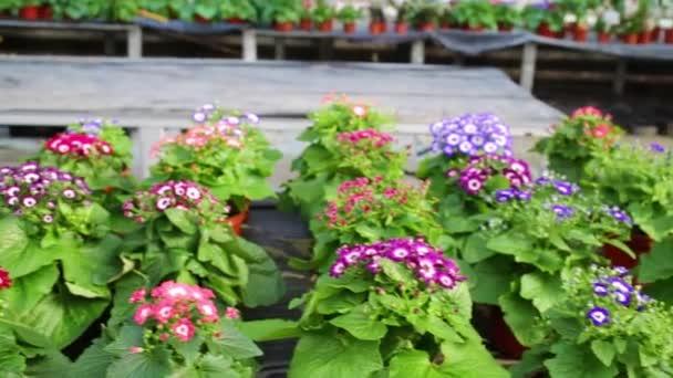 krásné květináče s cinerárie