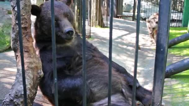 Bears resting in cage