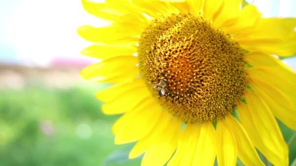 včela opyluje slunečnice v zahradě