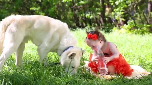 Weißer Hund husky Getränke