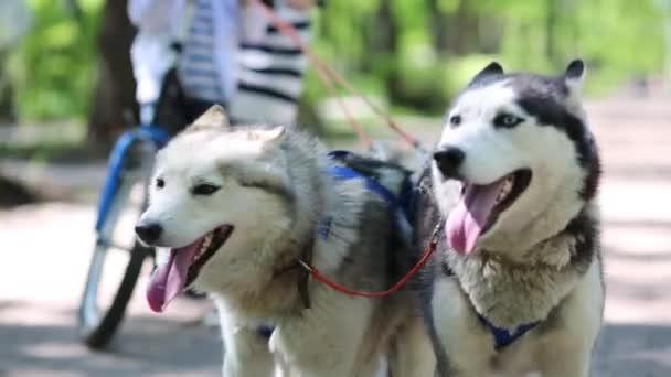 Team of two dogs husky