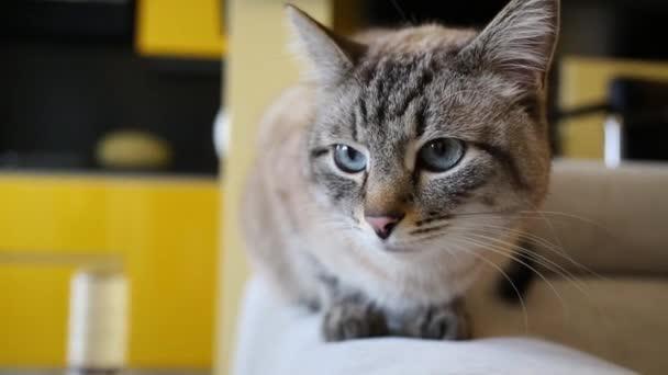graue Katze sitzt auf Sofa