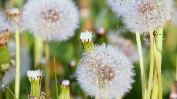 Pampelišky na zelený trávník