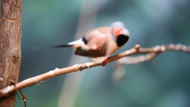 Cute colored Poephila Cincta bird