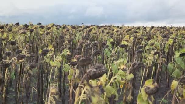 Zvadlé slunečnice na hřišti