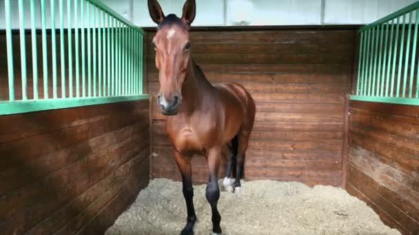 Unharnessed chestnut horse
