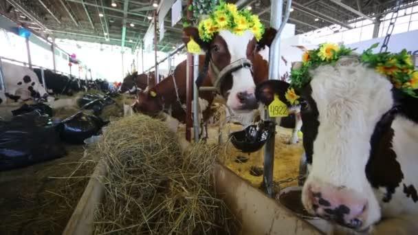 Krávy v kabince s květinovými věnci