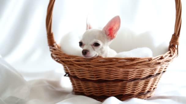 White chihuahua lies in wicker basket