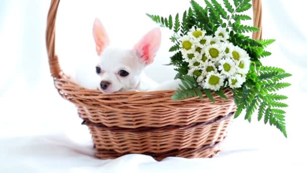 White chihuahua lies in wicker basket
