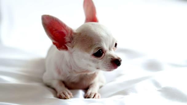 Chihuahua fekszik fehér takaró