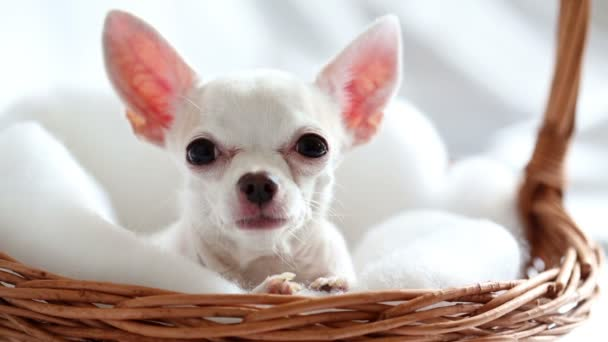chihuahua sitting in wicker basket