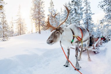 Reindeer safari in Finland