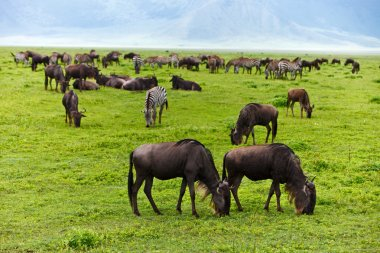 Great migration of wildebeests in Serengeti national park, Tanzania stock vector