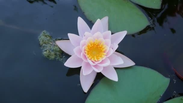 Růžový leknín květ na hladině rybníka