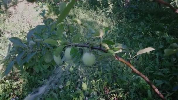 zahradník, zalévat strom v zahradě