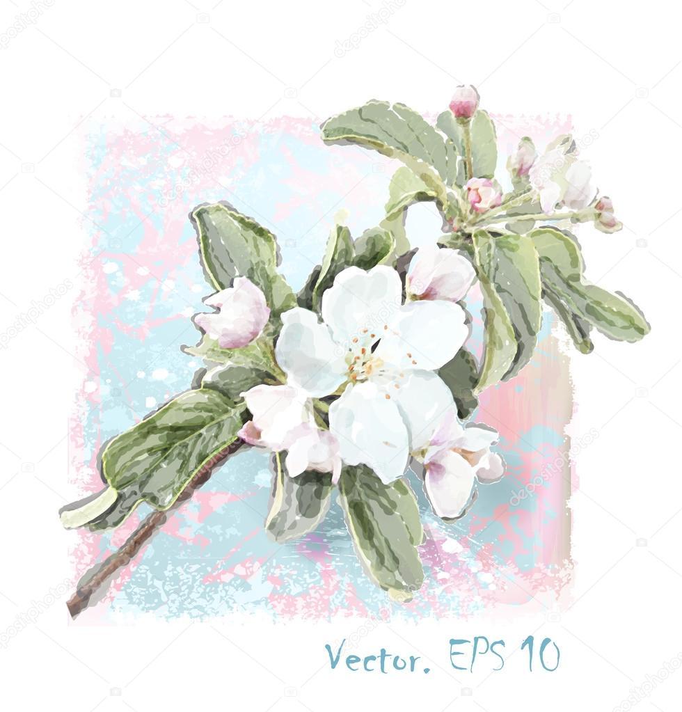 Apple flower blossoms in full bloom