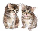 Pair of cute fluffy kittens.  Imitation of watercolor painting.