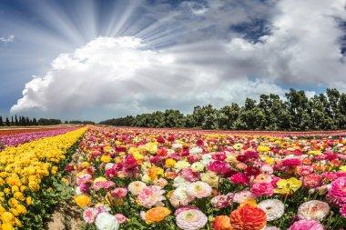 Spring flowering buttercups