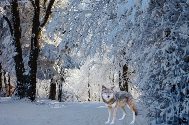 Magnificent white polar wolf