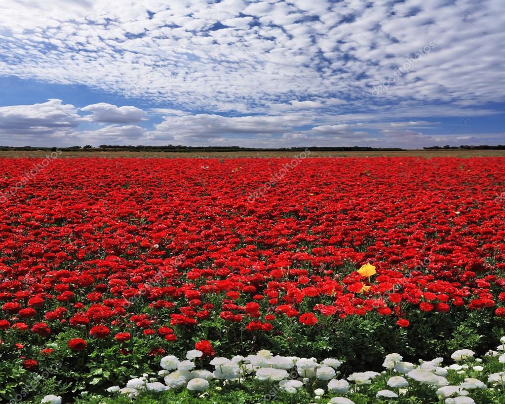 Field of red garden buttercups