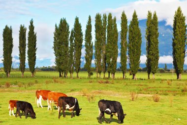 Rural idyll in Chilean Patagonia. Orange and black cows graze on green pasture. stock vector