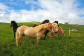 Horses grazing and playing on a meadow