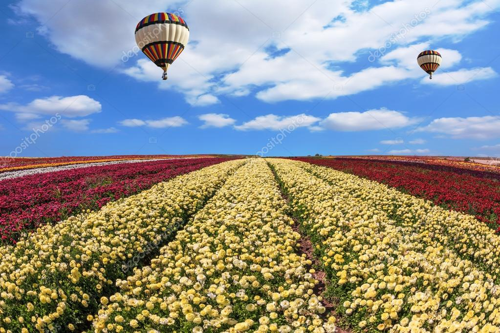 buttercups field and hot air balloons