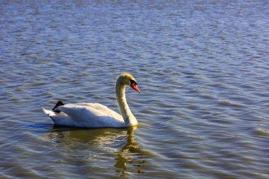 white swan in delta of Rhone