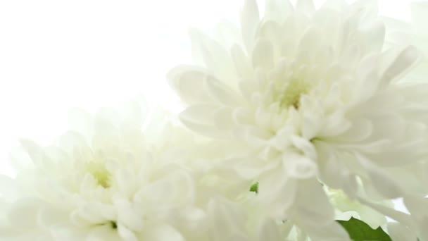 Krásnou kytici bílých chryzantémy na bílém pozadí. Video je rozmazané a rozostřený.