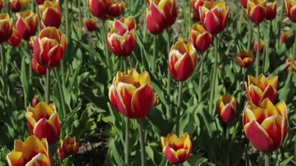 Gyönyörű virágágyás a piros sárga tulipánok.