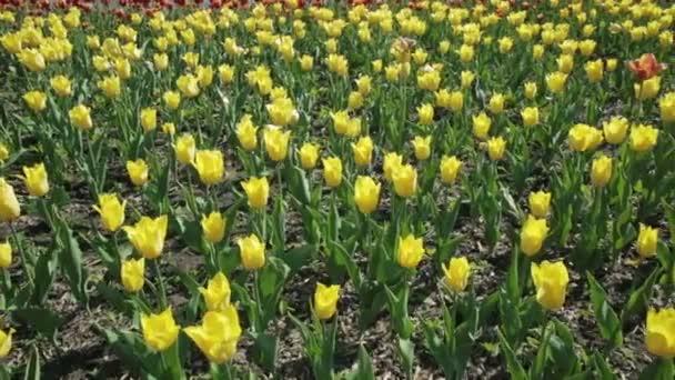 Gyönyörű virágágyás a sárga tulipánok.