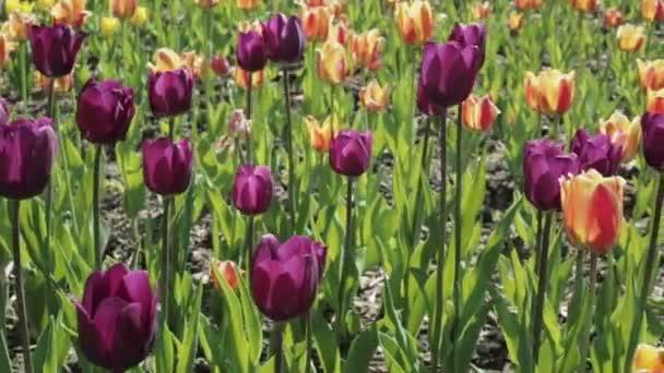 Krásného záhonu s barevnými tulipány.