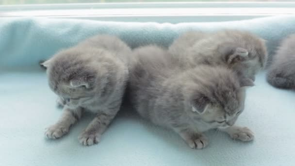 Blotched tabby kittens breed Scottish Fold.