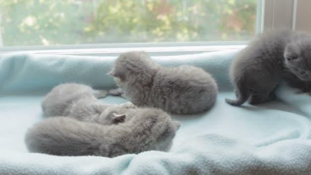 Blotched tabby kittens breed Scottish Fold.