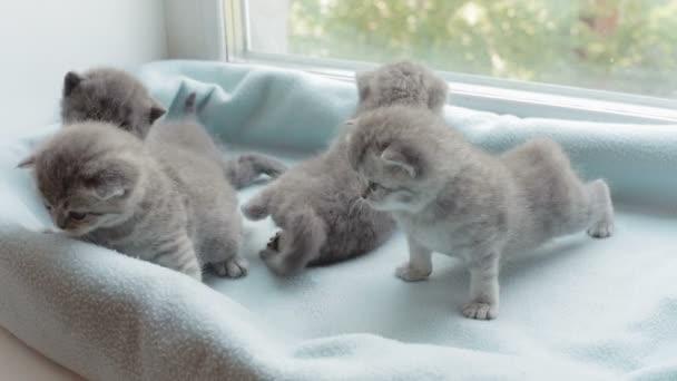 Kaňkovité mourovatá koťátka plemene, Scottish Fold.
