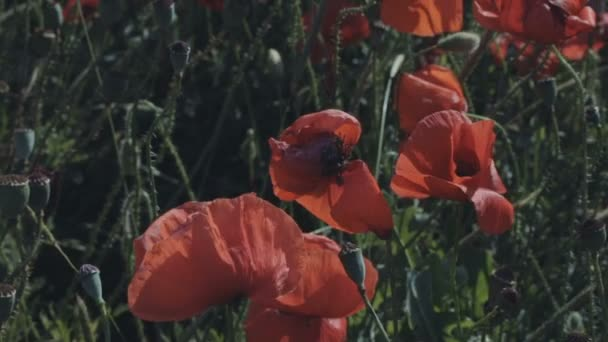 Blooming field of red poppies.