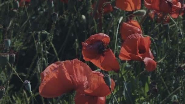 Kvetoucí pole Rudého máku