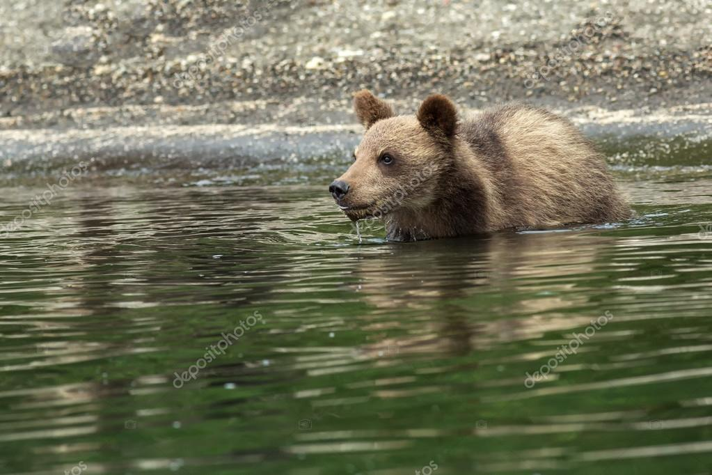 Brown bear cubs on the shore of Kurile Lake.