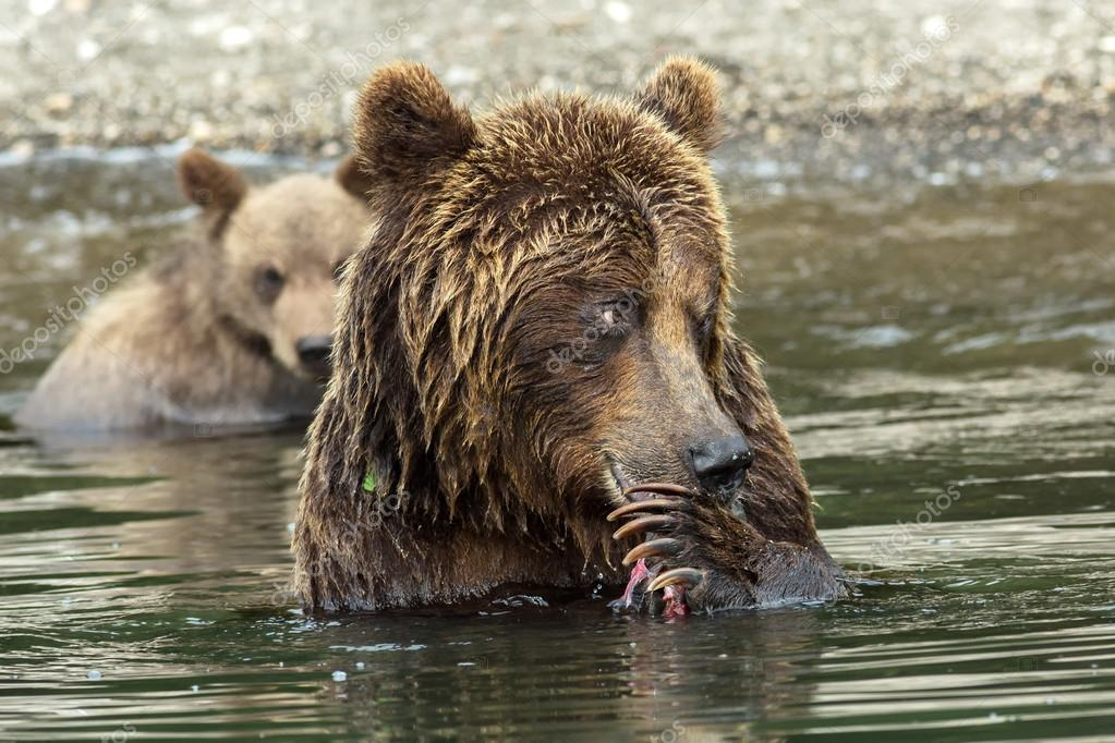 Brown bear does not want to share caught salmon with her cubs. Kurile Lake.