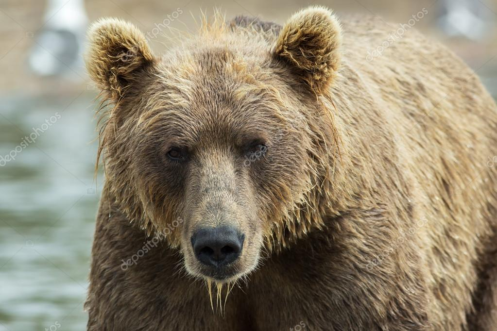 Portrait of a brown bear close up. Kurile Lake.