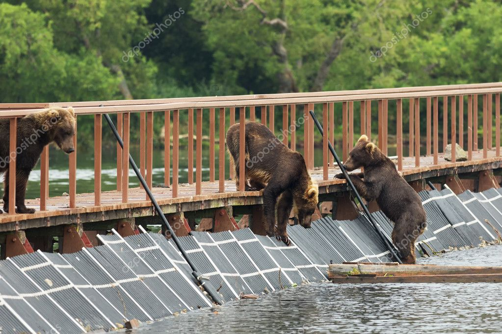 Three young brown bear on fence to account for fish. Kurile Lake.