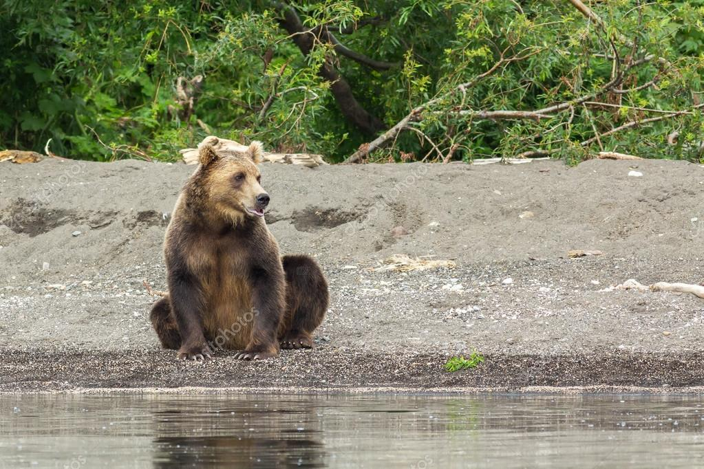 Brown bear on the shore of Kurile Lake.