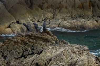 Pelagic cormorant nesting on the rocks in Pacific Ocean.