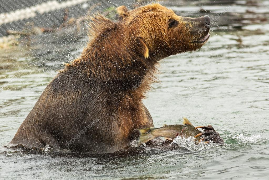 Brown bear with prey in its claws shakes off water on Kurile Lake.