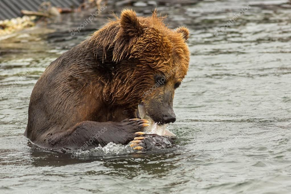 Brown bear eating fish caught in Kurile Lake.