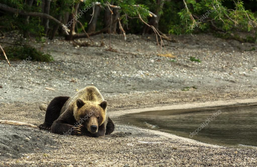 Brown bear sleeping sweetly on the shore of Kurile Lake.