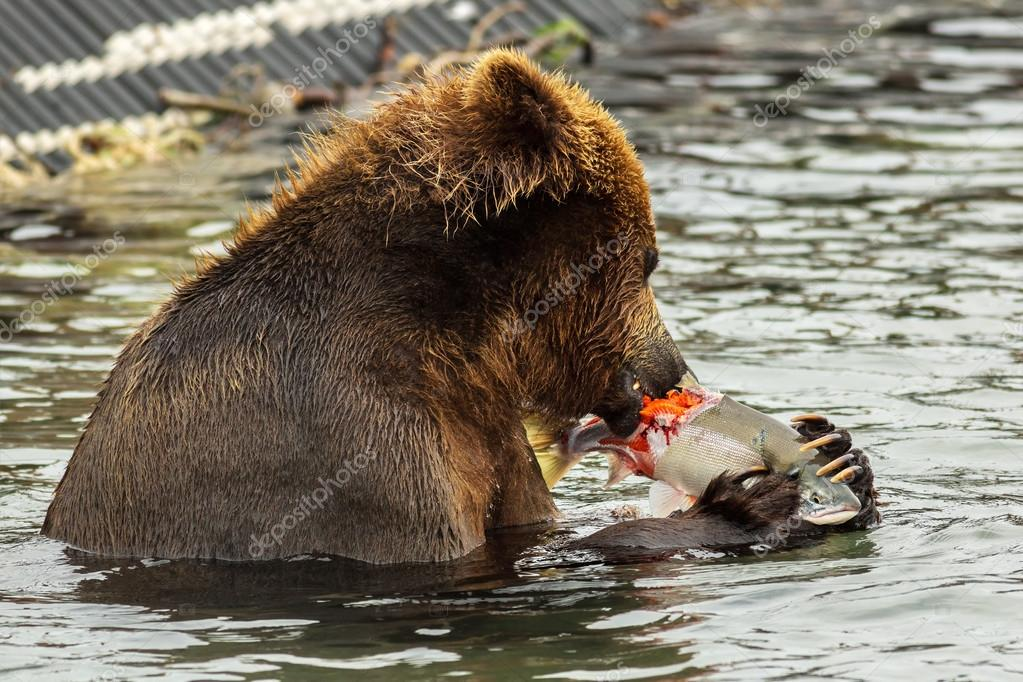 Brown bear eating a salmon caught in Kurile Lake.