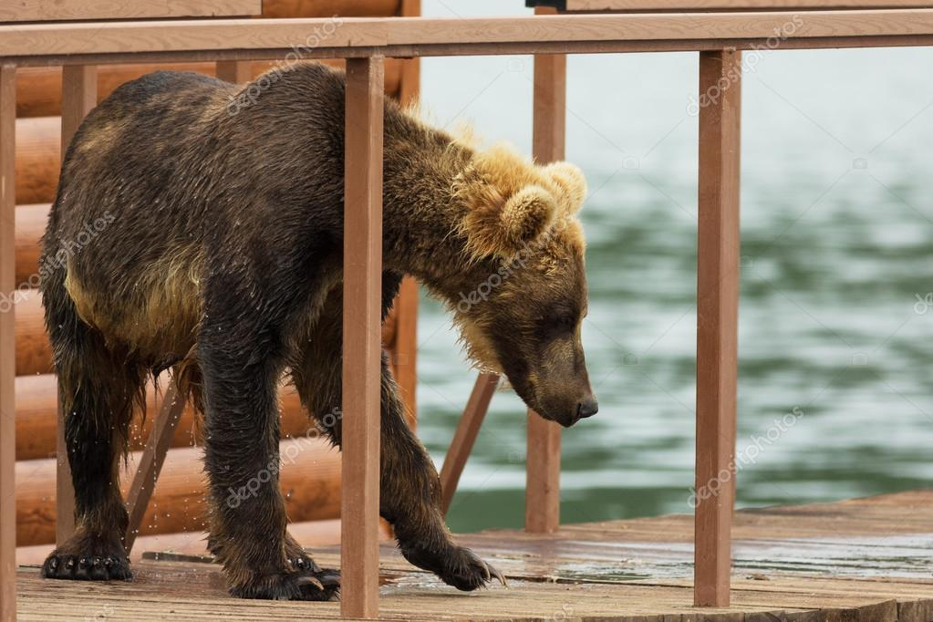 Young brown bear looks prey on fence to account for fish. Kurile Lake.